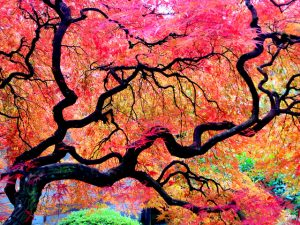 Fall leaves in the Japanese Gardens of Portland